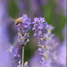 The Healing Properties of Lavender Oil