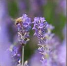 The Healing Properties of Lavender Oil